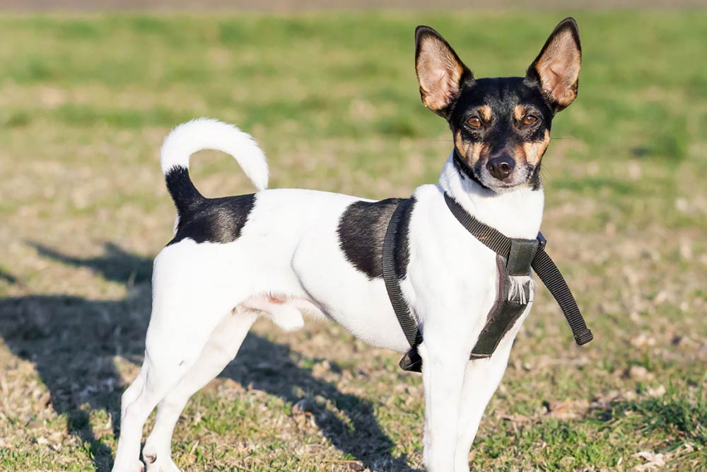 Rat Terrier Dog Breed